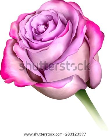 purple blue rose flower  sexy
