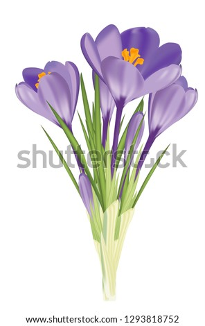 purple crocus   a spring flower