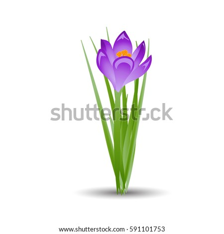 purple crocus blooming flowers