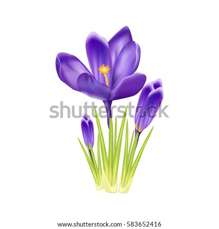 purple crocus on a white