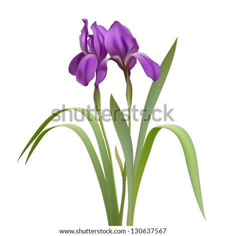 purple iris flowers isolated on