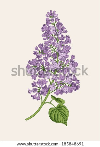 purple lilac branch on a light