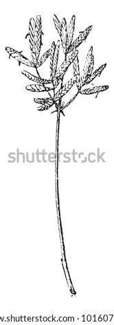 Purple Nut Sedge or Cyperus rotundus, vintage engraved illustration. Dictionary of Words and Things - Larive and Fleury - 1895