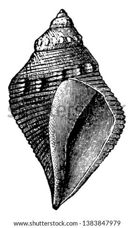 Pyrifusus Gastropod is a species of gastropod, vintage line drawing or engraving illustration.