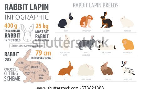 Rabbit, lapin breed infographic template. Flat design. Vector illustration