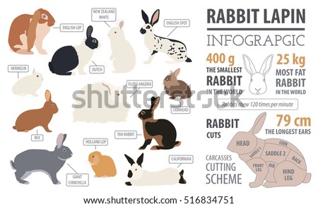 Rabbit, lapin breed infographic template. Isolated icon set. Pets flat design. Vector illustration