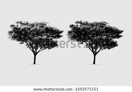 rain tree in silhouette the