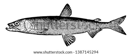 Rainbow Smelt is a North American fish in the Osmeridae family of smelts named for its brilliant colors, vintage line drawing or engraving illustration.