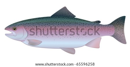 Rainbow Trout (Oncorhynchus mykiss) freshwater fish. 