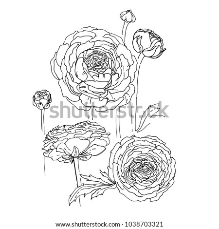 ranunculus flowers drawn by a