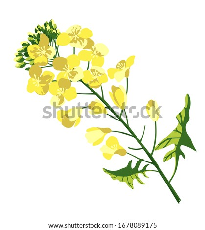 rape blossom  flowering