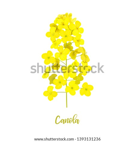 rapeseed blossom isolated on