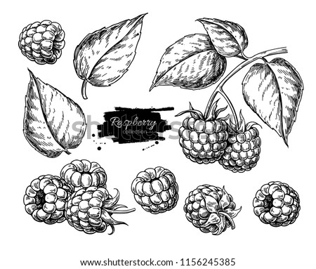 Raspberry vector drawing. Isolated berry branch sketch on white background.  Summer fruit engraved style illustration. Detailed hand drawn vegetarian food. Great for label, poster, print