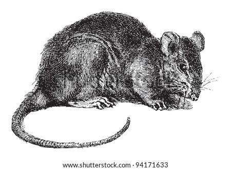 Rat (Rattus) / vintage illustration from Meyers Konversations-Lexikon 1897