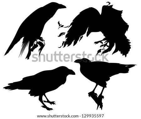 raven birds detailed vector silhouettes - fine black outlines over white