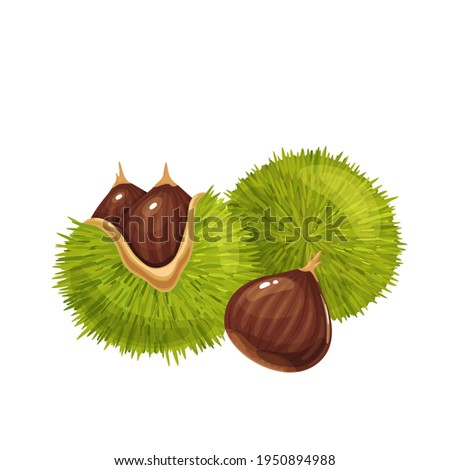 Raw chestnuts vector illustration. Sweet edible american chestnuts with its spiny burrs and nuts. Castanea sativa isolated on white. Foto stock ©