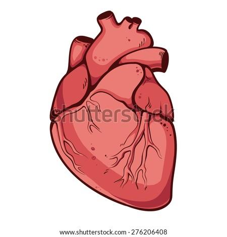 Real heart. Vector illustration