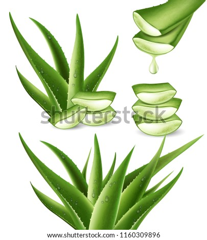 Realistic aloe vera medicinal plant and it's sections with fresh drops of water in 3D. Isolated vector illustration