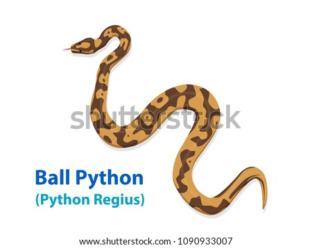 Realistic Ball Python snake in vector art, top view