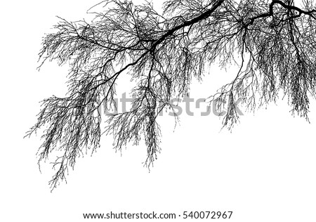 Realistic birch tree branches silhouette (Vector illustration).Eps10