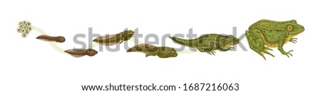 Realistic colorful stages of frogs life cycle isolated on white background. Set of frog metamorphosis colored vector graphic illustration. Reproduce transformation process of amphibian ストックフォト ©