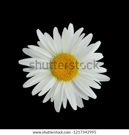 realistic daisy flower isolated