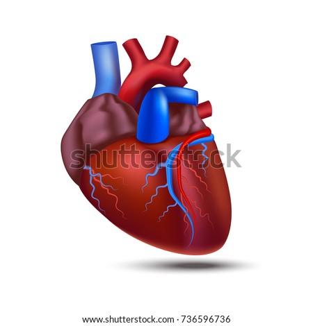 Realistic Detailed 3d Human Anatomy Heart Closeup View Cardiovascular Organ a Body Medical Health Care Concept Symbol. Vector illustration
