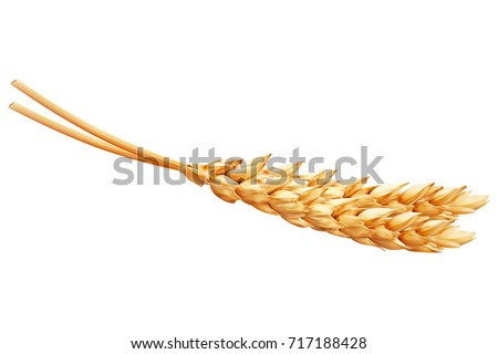 Realistic ear of wheat on white background. Vector set.