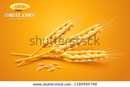 Realistic ear of wheat whole or bunch of 3d oat stems with grains, volumetric spikelet or spica of barley, ripe cereal plant. Crop or harvest, farming, staple organic food, agriculture and cultivation