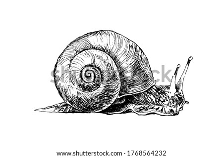 Realistic grape snail isolated. Detailed garden cochlea black and white sketch. Hand drawn snail silhouette with radial shell on white background. Slippery mollusk used for food. Сток-фото ©
