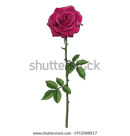 Realistic hand drawn dark red rose flower with leaves and stem. Vector illustration isolated on white background. Decorative element for tattoo, greeting card, wedding invitation,