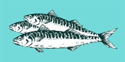 Realistic hand Drawn Illustration a Group of mackerels, Scomber, still life on blue background