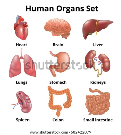 Find Free Human Internal Organ Images Stock Photos And Illustration