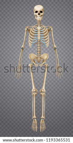 Realistic human skeleton isolated on transparent background 3d vector illustration Foto stock ©