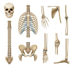 Realistic human skeleton parts set with skull spine scapula bones of pelvis and limbs isolated vector illustration