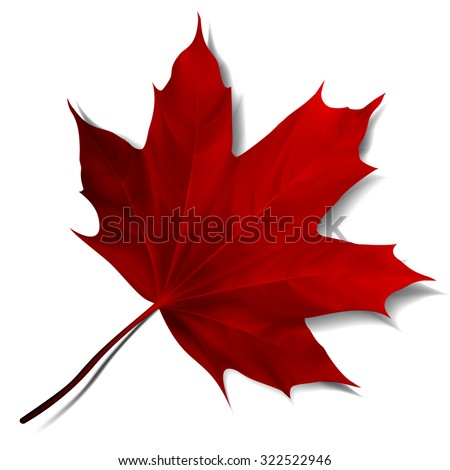 realistic red maple leaf