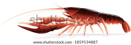 Realistic red swamp crayfish isolated illustration, one big freshwater North American crayfish on side view, Europe invasive species ストックフォト ©