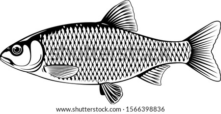 Realistic roach fish in black and white isolated illustration, one freshwater fish on side view