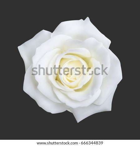 realistic white rose  vector