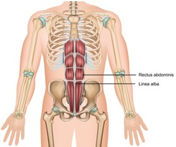 Rectus abdominis muscle 3d medical vector illustration