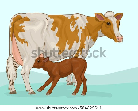 red and white cow with suckling calf
