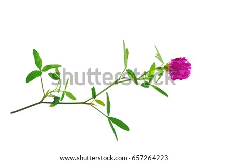 red clover flower isolated on