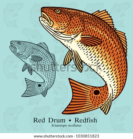 Red Drum, Redfish. Vector illustration with refined details and optimized stroke that allows the image to be used in small sizes (in packaging design, decoration, educational graphics, etc.)