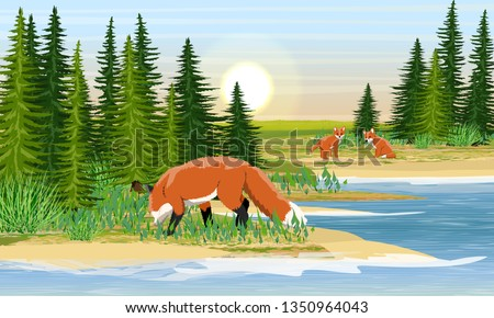red fox and two young foxes on