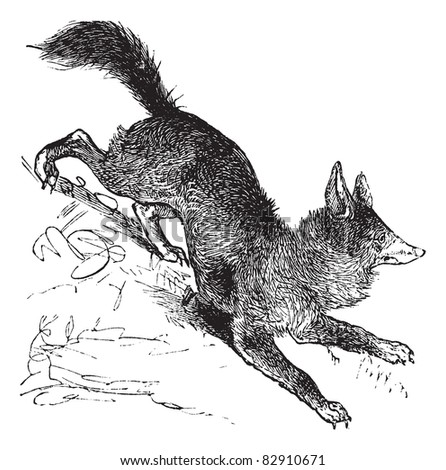 Red Fox or Vulpes vulpes or Vulpes fulva or Vulpes fulvus, vintage engraving. Old engraved illustration of Red Fox. Trousset encyclopedia (1886 - 1891).