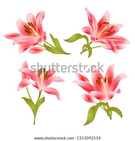 red lily  lilium candidum