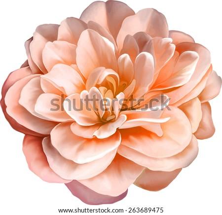 red orange rose camellia flower