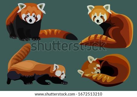 Red panda cat-bear collection, realistic flat ani,al vector set.