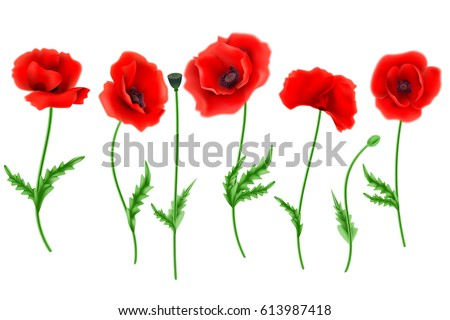 Red Poppy flower isolated on white background, vector illustration