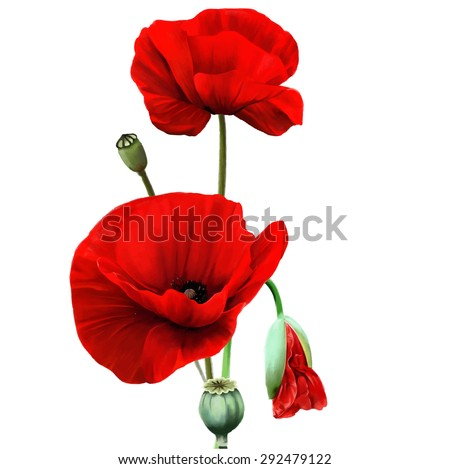 red poppy flower isolated on